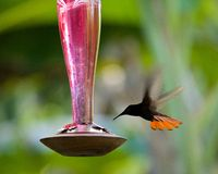 Hummingbird, Caribbean. Hummingbird flying to eat, Tobago, Caribbean Royalty Free Stock Photography