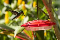 Hummingbird, Caribbean. Hummingbird flying to eat, Tobago, Caribbean Royalty Free Stock Photos