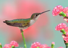Hummingbird At Carnations Stock Photography