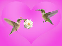 Hummingbird carrying a rose Stock Images