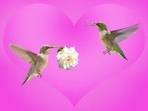 Hummingbird carrying a rose Stock Images