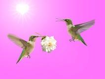 Hummingbird carrying a rose Stock Photo