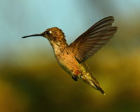 Ruby Throat Hummingbird Flight Stock Photography