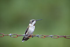 Hummingbird on chain Stock Image