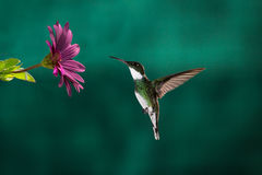 Hummingbird chase Stock Photo