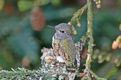 Hummingbird Chick Preening Wings stock photography