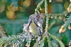 Hummingbird Chick Preening Wings stock photos