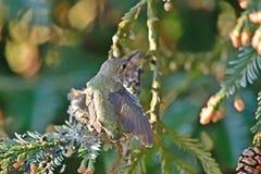 Hummingbird Chick Preening Wings stock images