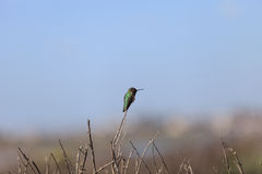 hummingbird chinned чернотой Стоковое Изображение RF