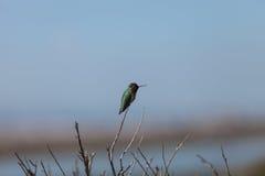 hummingbird chinned чернотой Стоковые Фото