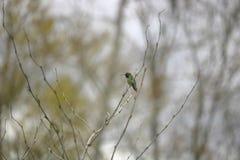 hummingbird chinned чернотой Стоковые Фотографии RF