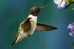 hummingbird chinned чернотой Стоковое Изображение