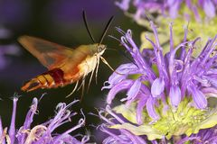 Hummingbird moth hovers while foraging on lavender bee balm flow Royalty Free Stock Photos