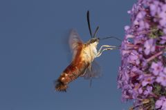 Hummingbird clearwing hawk moth hovering near butterfly bush flo. Hummingbird clear wing, Hemaris thysbe, a hawk moth in the Sphingidae, caught in flight while Stock Image