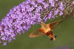 Hummingbird clearwing hawk moth hovering near butterfly bush flo. Hummingbird clear wing, Hemaris thysbe, a hawk moth in the Sphingidae, caught in flight while Stock Photo