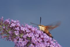 Hummingbird clearwing hawk moth on purple flowers of butterfly b. Hummingbird clear wing, Hemaris thysbe, a hawk moth in the Sphingidae, caught in flight while Royalty Free Stock Images