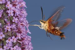 Hummingbird clearwing hawk moth hovering near butterfly bush flo. Hummingbird clear wing, Hemaris thysbe, a hawk moth in the Sphingidae, caught in flight while Stock Images
