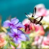 Hummingbird clearwing ćma unosi się wokoło kwiatów obraz royalty free