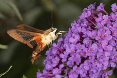 Hummingbird clearwing hawk moth on purple flowers of butterfly b. Hummingbird clear wing, Hemaris thysbe, a hawk moth in the Sphingidae, caught in flight while Stock Image