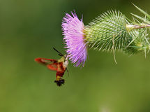 Hummingbird Clearwing Moth Stock Images