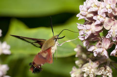 Hummingbird Clearwing Moth. A moth of the species Hemaris Thysbe feeding on some flower nectar Royalty Free Stock Image