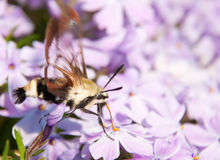 Hummingbird Clearwing Moth. Hemaris thysbe, feeding on purple phlox flowers in early spring Royalty Free Stock Images