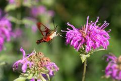 Hummingbird Clearwing Moth. Feeding on bee balm flower Royalty Free Stock Photos