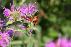 Hummingbird Clearwing Moth. Feeding on bee balm flower Stock Photos