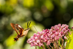 Hummingbird Clearwing Moth. A close up of a Hummingbird Clearwing Moth feeding on a flower Royalty Free Stock Images