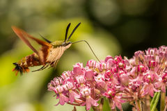 Hummingbird Clearwing Moth. A close up of a Hummingbird Clearwing Moth feeding on a flower Royalty Free Stock Image