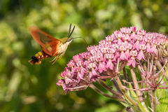 Hummingbird Clearwing Moth. A close up of a Hummingbird Clearwing Moth feeding on a flower Stock Photo
