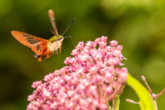 Hummingbird Clearwing Moth. A close up of a Hummingbird Clearwing Moth feeding on a flower Stock Photos