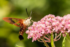 Hummingbird Clearwing Moth. A close up of a Hummingbird Clearwing Moth feeding on a flower Royalty Free Stock Photos