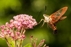 Hummingbird Clearwing Moth. A close up of a Hummingbird Clearwing Moth feeding on a flower Royalty Free Stock Photography