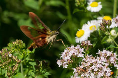 Hummingbird Clearwing Moth. A Hummingbird Clearwing Moth feeding from some flowers Stock Photography