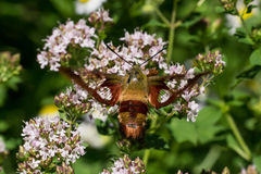 Hummingbird Clearwing Moth. A Hummingbird Clearwing Moth feeding from some flowers Stock Images