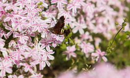 Hummingbird Clearwing Moth. And Flowers Stock Photo