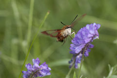 Hummingbird clearwing moth hemaris thysbe. Hummingbird clearwing hemaris thysbe foraging in tufted vetch flowers  on a blurred background Stock Photos