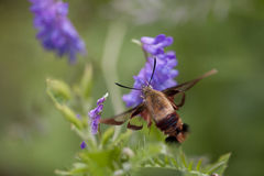 Hummingbird clearwing moth hemaris thysbe. Hummingbird clearwing hemaris thysbe foraging in tufted vetch flowers  on a blurred background Royalty Free Stock Image