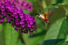 Hummingbird Clearwing Moth - Hemaris thysbe. Hummingbird Clearwing Moth hovering by a purple Butterfly Bush flower collecting nectar. Rosetta McClain Gardens royalty free stock images