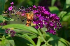 Hummingbird Clearwing Moth - Hemaris thysbe. Hummingbird Clearwing Moth hovering by a purple Butterfly Bush flower collecting nectar. Rosetta McClain Gardens royalty free stock photo