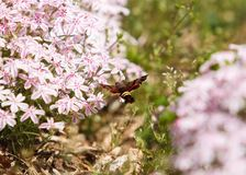 Hummingbird Clearwing Moth hovering at Flowers. Hummingbird Clearwing Moth at Pink and White Flowers Stock Photo