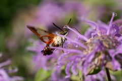 Hummingbird Clearwing Moth. A Hummingbird Clearwing Moth feeding from a Wild Bergamot plant Royalty Free Stock Photography