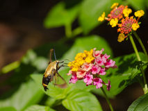 Hummingbird Clearwing Moth. On Lantana Royalty Free Stock Photo