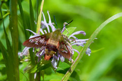 Hummingbird Clearwing Moth. Resting on a wildflower Stock Photo
