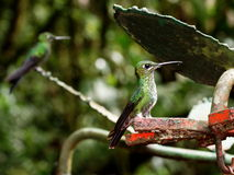 Hummingbird in the cloud forest of Monteverde Royalty Free Stock Photography