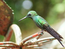 Hummingbird in the cloud forest of Monteverde Royalty Free Stock Photos