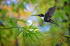 Hummingbird (Coeligena torquata) in the garden Stock Images