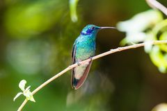 Hummingbird, Colibri thalassinus, beautiful green blue hummingbird from Central America hovering in front of flower background in. Hummingbird, or Colibri royalty free stock photos