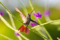 Hummingbird, Colibri thalassinus, beautiful green blue hummingbird from Central America hovering in front of flower background in. Hummingbird, or Colibri stock images